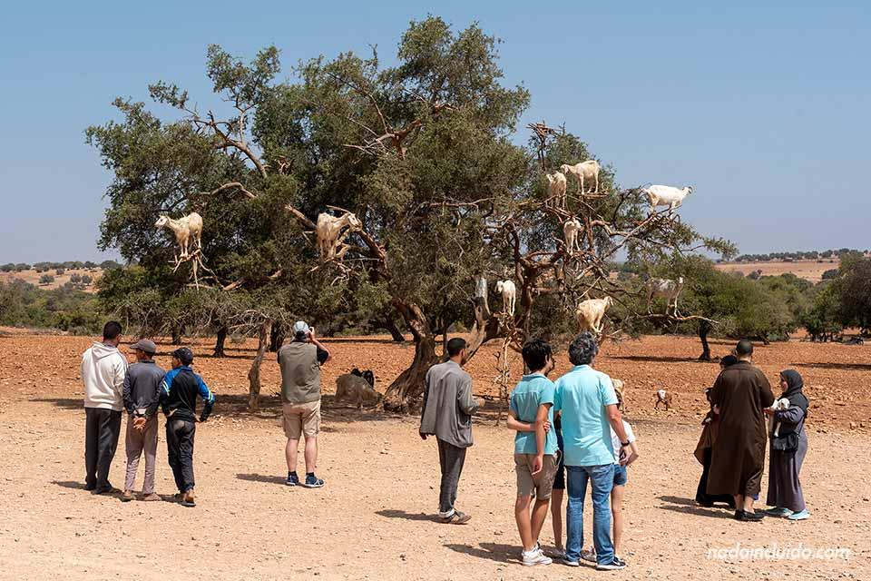 Cabras subidas para comer el fruto del argán en el camino a Essaouira (Marruecos)