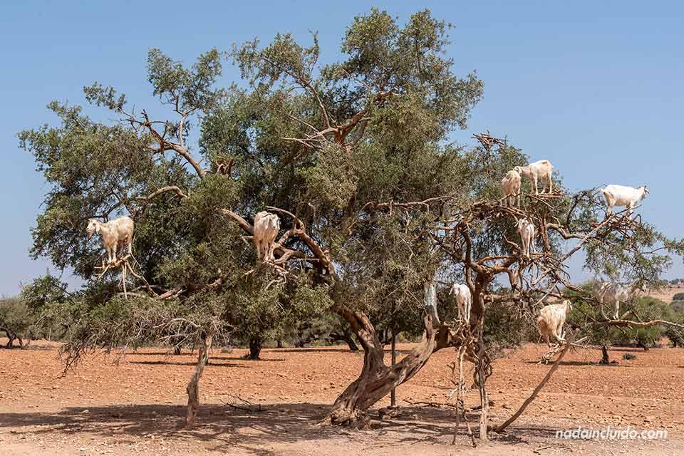 Cabras en lo alto de un árbol del argán en el camino a Essaouira (Marruecos)