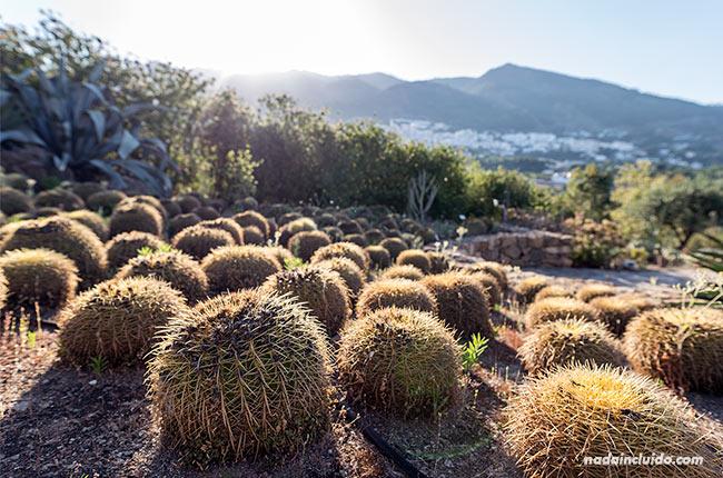 Cactus en jardín botánico de Casarabonela (Málaga)