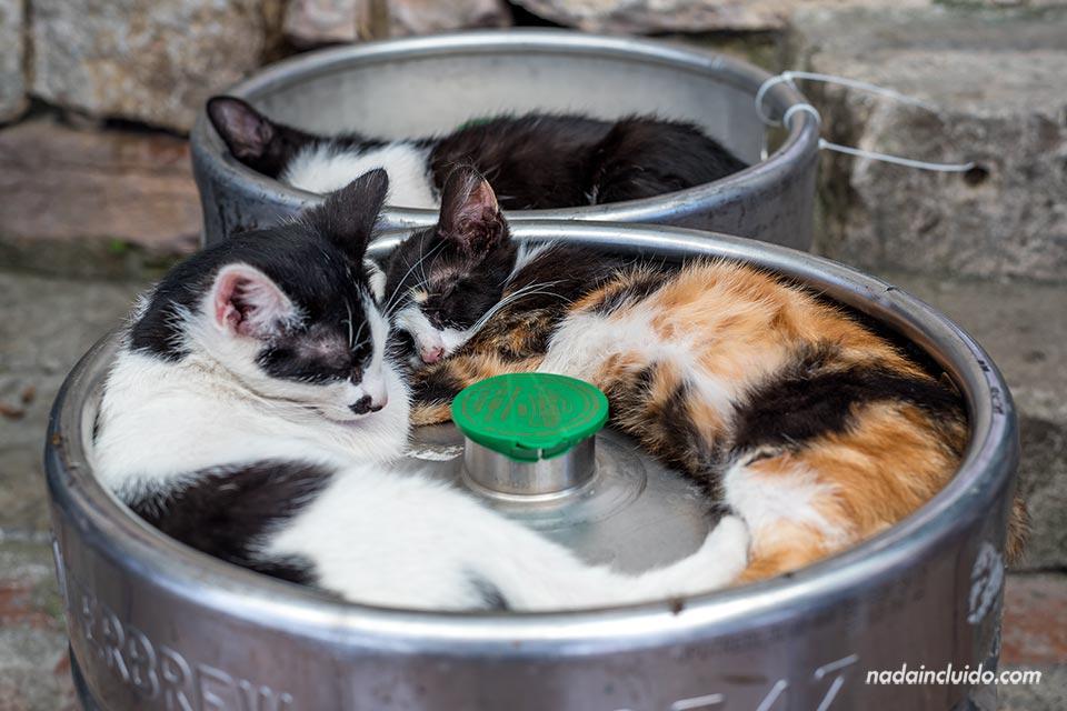 Gatos en un barril en Kotor (Montenegro)