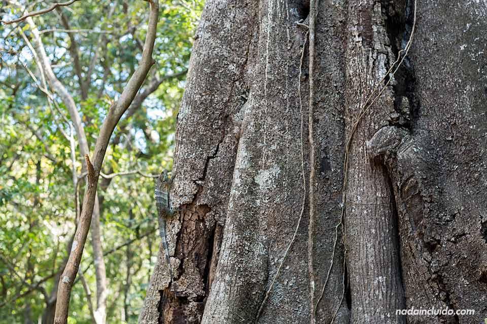 Un lagarto sube por el tronco de un árbol en el Parque Nacional Rincón de la Vieja (Costa Rica)