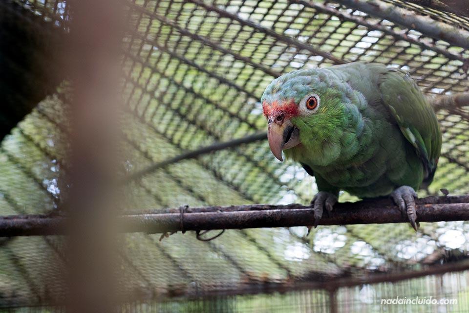 """Loro enjaulado en """"El Nispero Zoo"""", en el Valle de Antón (Panamá)"""