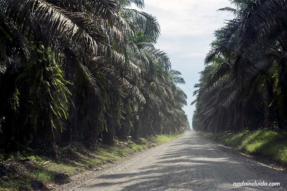 Sendero entre palmeras en dirección a la carretera costanera (Costa Rica)