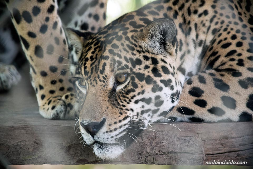 """Jaguar enjaulado en """"El Nispero Zoo"""", en el Valle de Antón (Panamá)"""