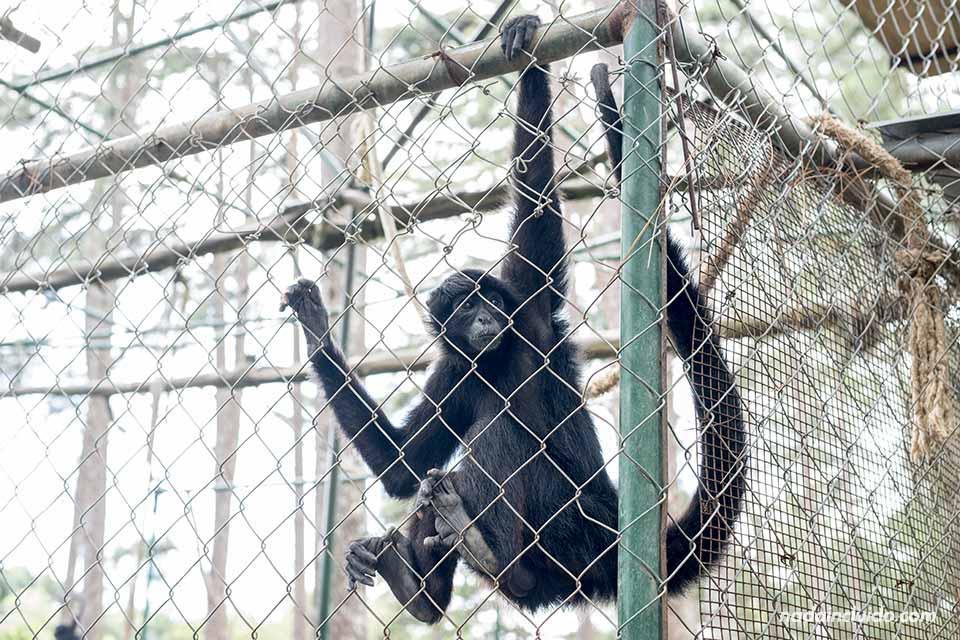 """Mono enjaulado en """"El Nispero Zoo"""", en el Valle de Antón (Panamá)"""