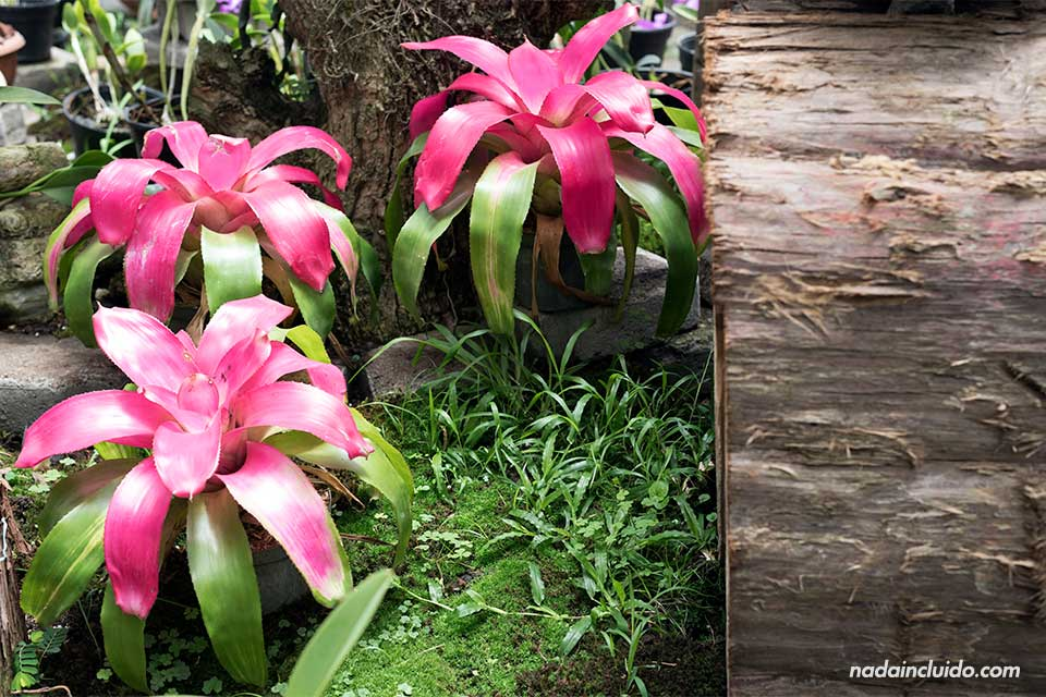 Flores bromeliáceas en el Jardín Botánico Lankester (Cartago, Costa Rica)