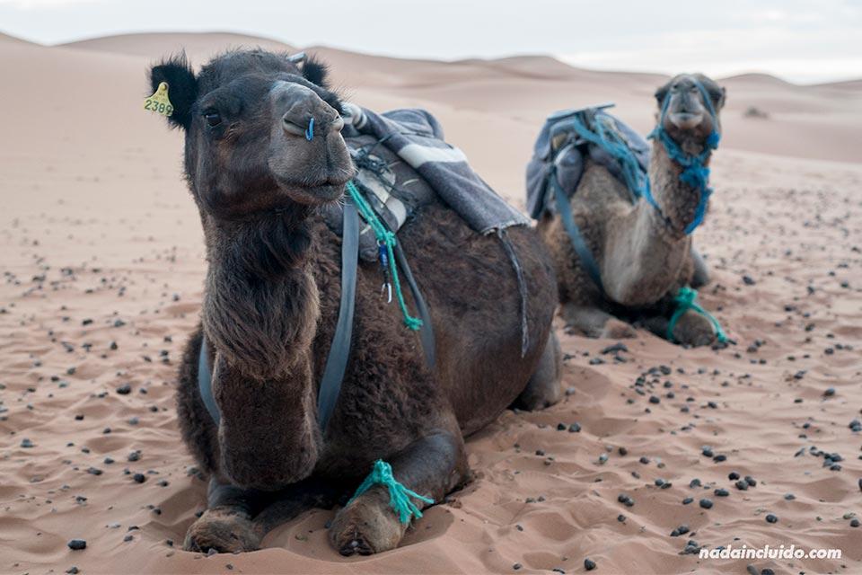 Camellos esperando en el desierto del Sáhara (Marruecos)