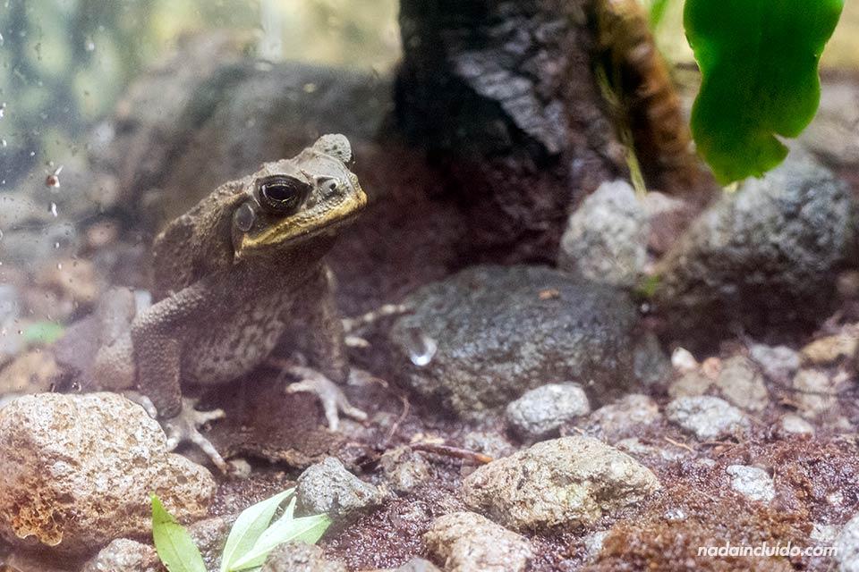"""Rana en el ranario de """"El Nispero Zoo"""", en el Valle de Antón (Panamá)"""