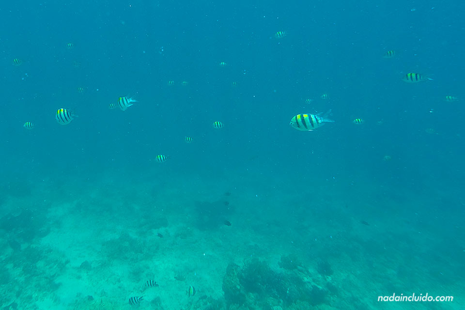 Peces en el fondo marino de Gili Air (Indonesia)