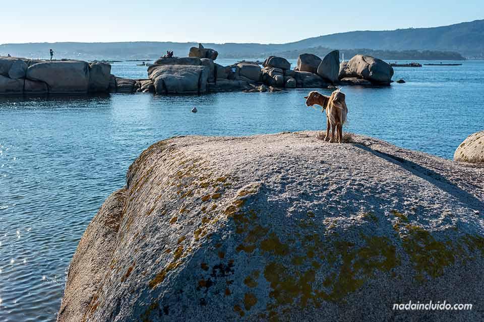 Cabra en una roca de illa de Arousa (Galicia, España)