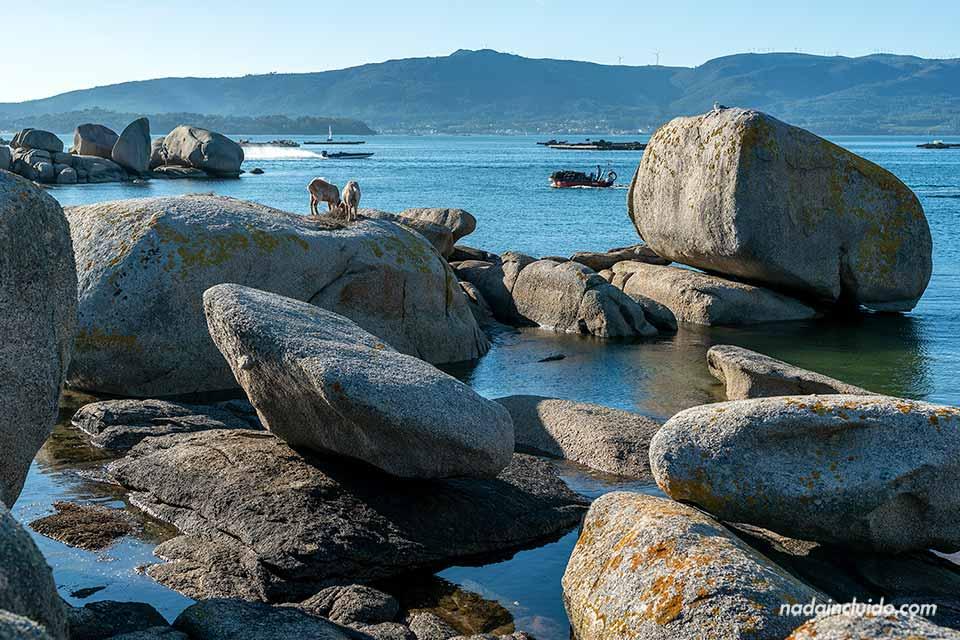 Cabras en una roca de illa de Arousa (Galicia, España)