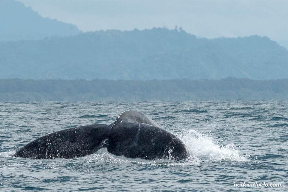 Una ballena recoge la cola en el Parque Nacional Marino Ballena de Costa Rica