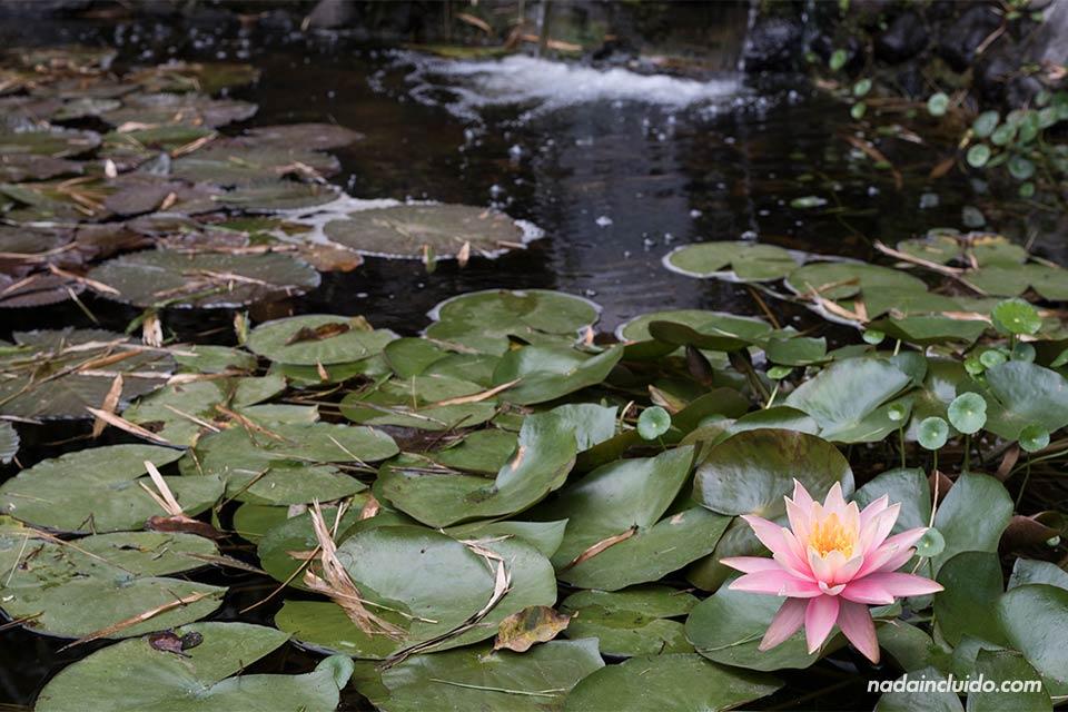 Nenúfar en una charca del Jardín Botánico Lankester (Cartago, Costa Rica)