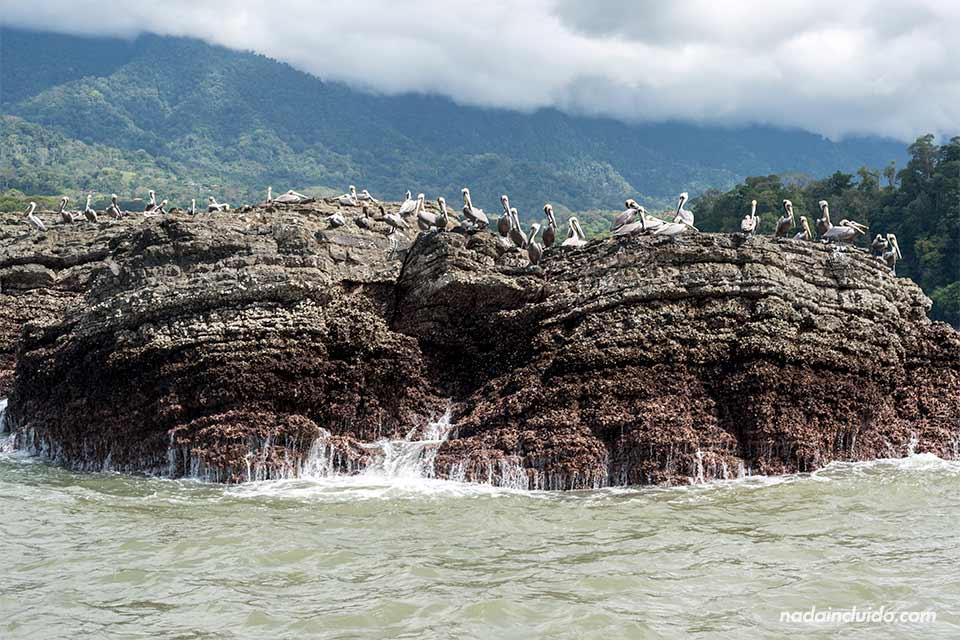 Pelícanos en una roca del parque nacional marino Ballena (Costa Rica)