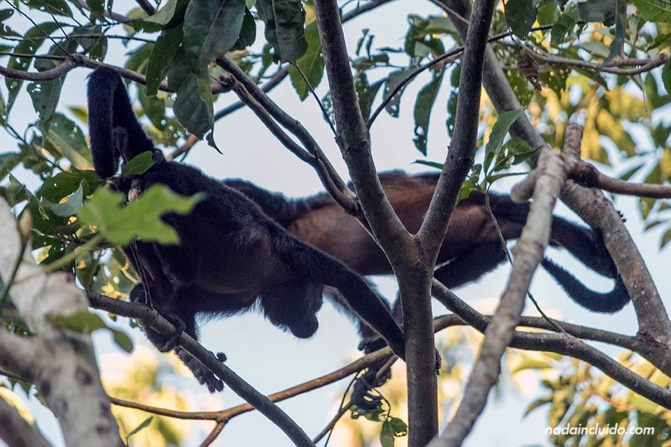 Monos aulladores en las ramas de los árboles de la isla de Boca Brava, en el golfo de Chiriqui (Panamá)