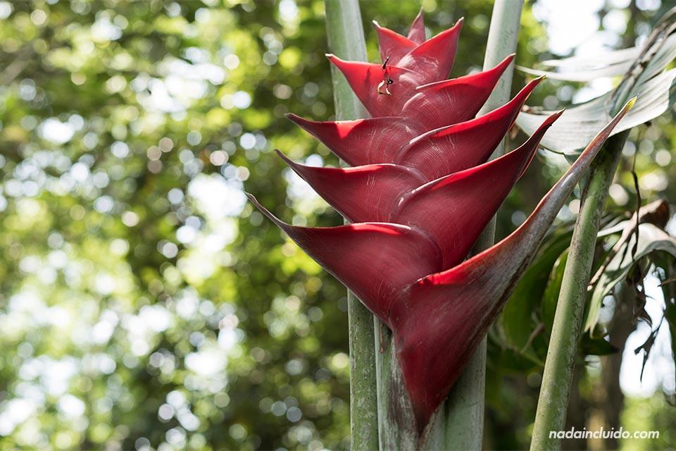 Flor heliconia en el Jardín Botánico Lankester (Cartago, Costa Rica)