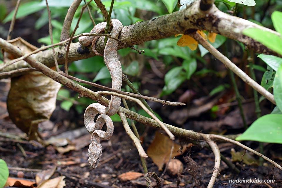 Una serpiente pequeña escondida entre ramas en el Parque Nacional Cahuita (Costa Rica)