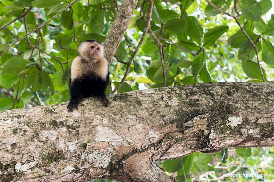 Mono carablanca en el Parque Nacional de Cahuita (Costa Rica)