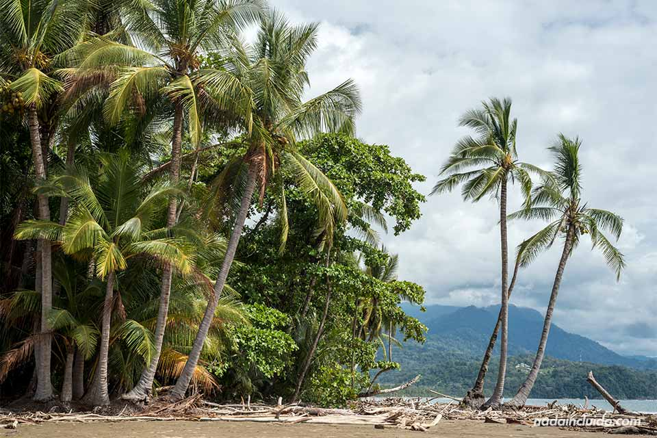 Palmeras en playa Uvita (Costa Rica)