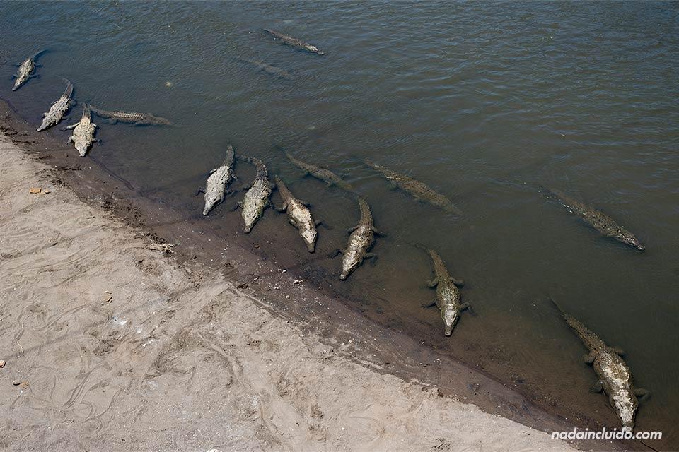 Caimanes en el Río Tárcoles (Costa Rica)