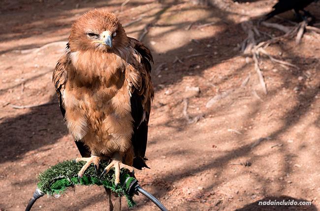 Águila en el Parque Natural del Monasterio de Piedra (Aragón, España)
