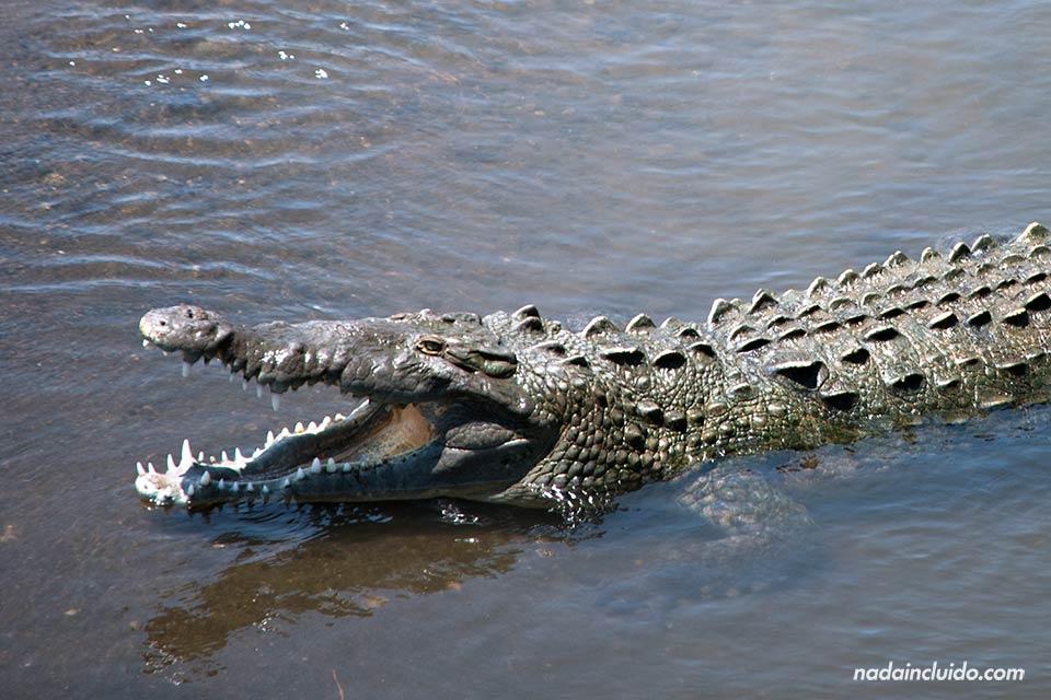 Cocodrilo en las aguas del río grande de Tárcoles (Costa Rica)