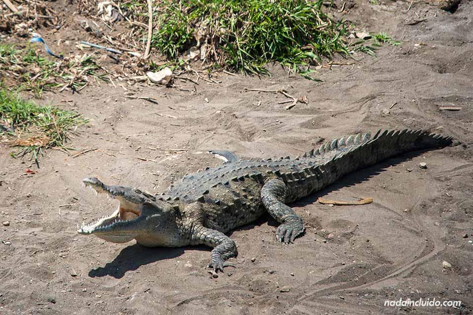 Cocodrilo en la orilla del Río Grande de Tárcoles (Costa Rica)