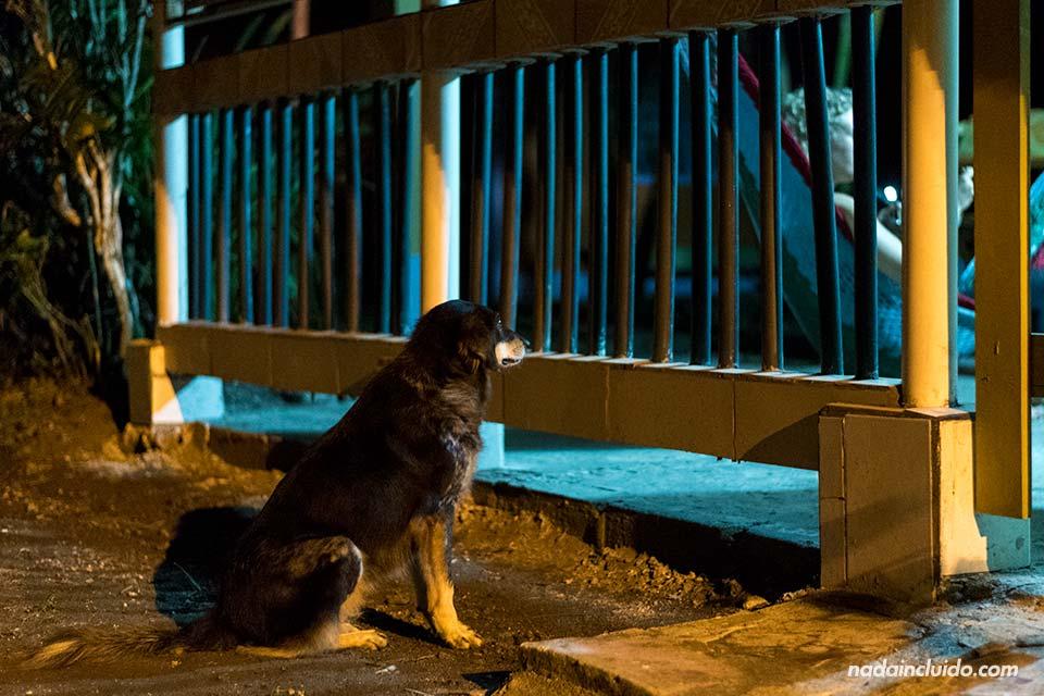 Perro en el pueblo de Tortuguero (Costa Rica)