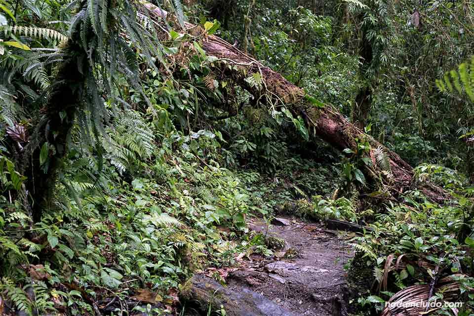 Árbol caído en el sendero de las tres cascadas escondidas, en Boquete (Panamá)
