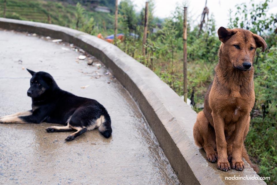 Perro es la carretera de Sapa, junto a la aldea de Cat Cat (Vietnam)