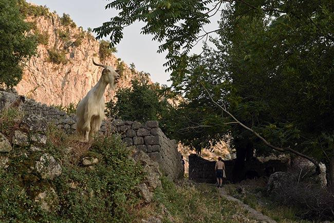 Cabras en la parte alta de Kotor (Montenegro)