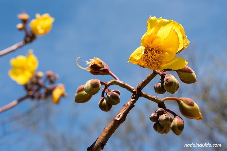 Una flor amarilla y sus frutos en el Parque Nacional Rincón de la Vieja (Costa Rica)