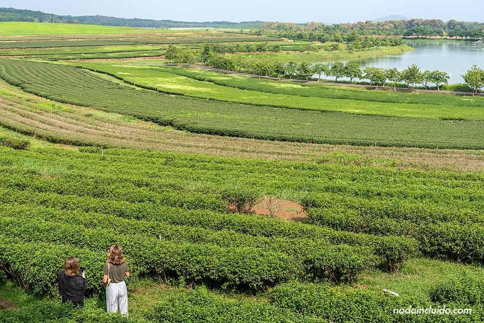 Campos de té en el Singha Park de Chiang Rai (Tailandia)