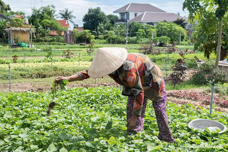 Campesino vietnamita trabajando en un cultivo ecológico cerca de Hoi An (Vietnam)