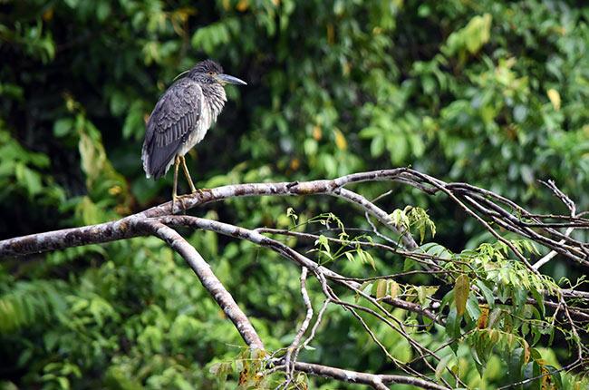 Pájaro observa en lo alto de una rama en los canales de Tortuguero (Costa Rica)
