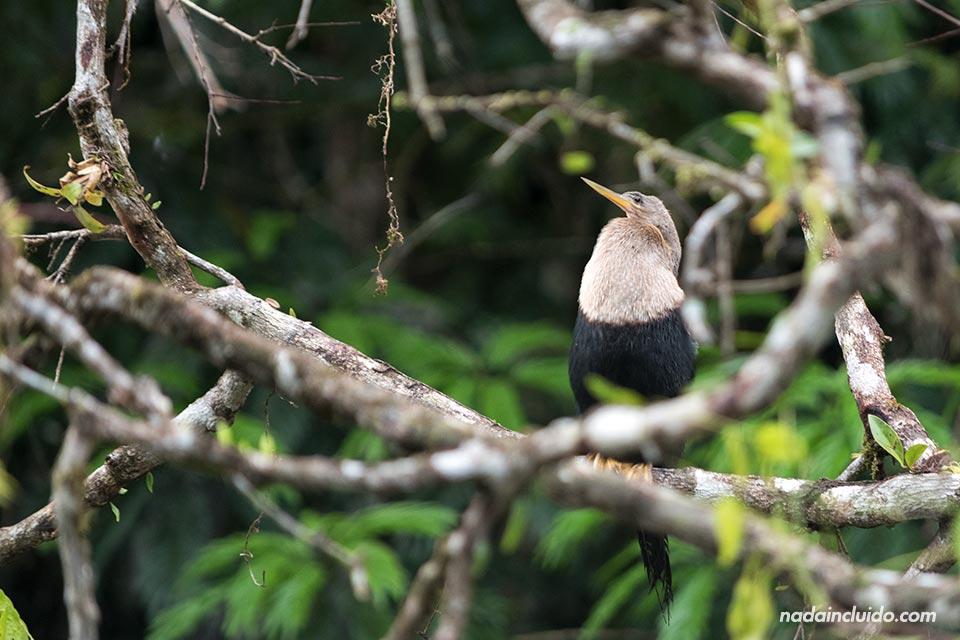 Ave entre las ramas de los canales de Tortuguero (Costa Rica)