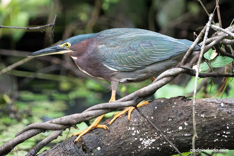 Un pájaro descansa sobre una rama en los canales del Parque Nacional de Tortuguero (Costa Rica)