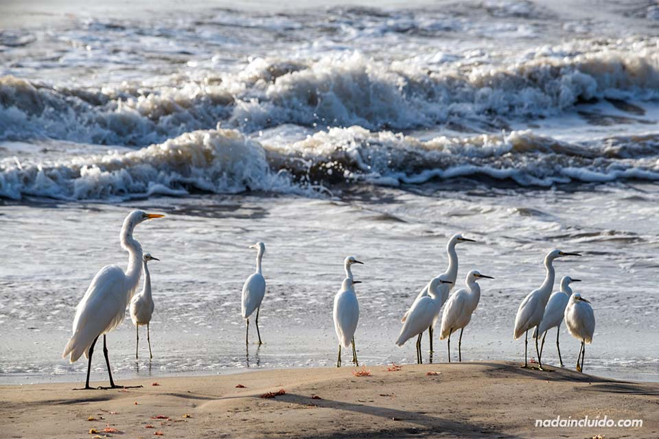 Garzas en la playa de isla Colón, Bocas del Toro (Panamá)