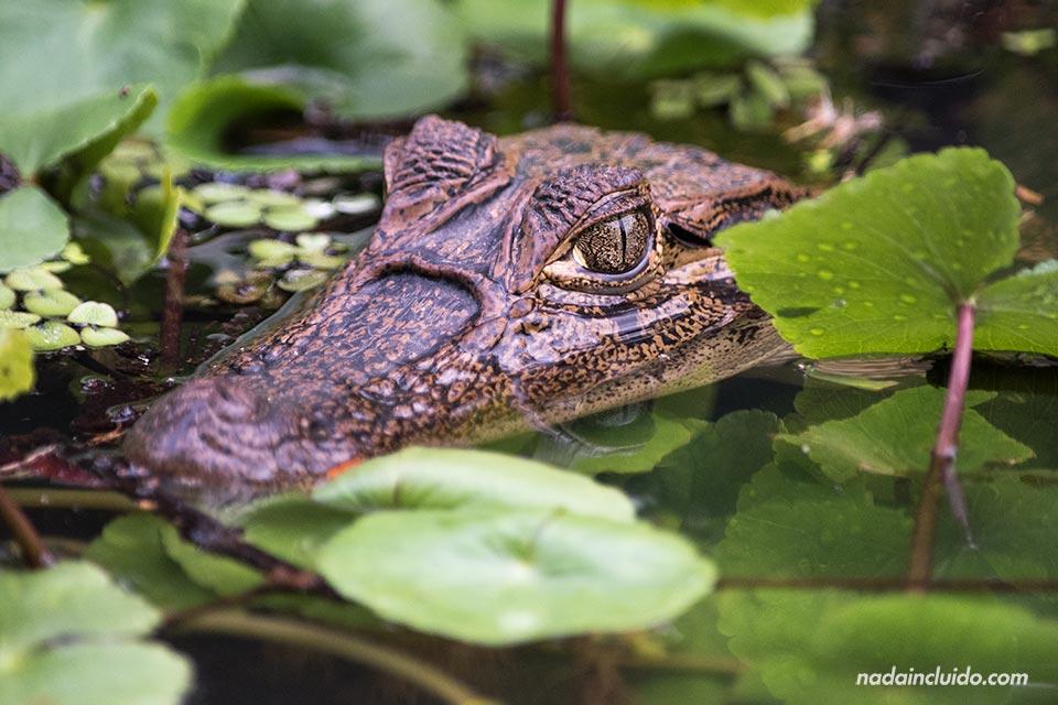 Caimán bajo el agua de los canales del Parque Nacional de Tortuguero (Costa Rica)