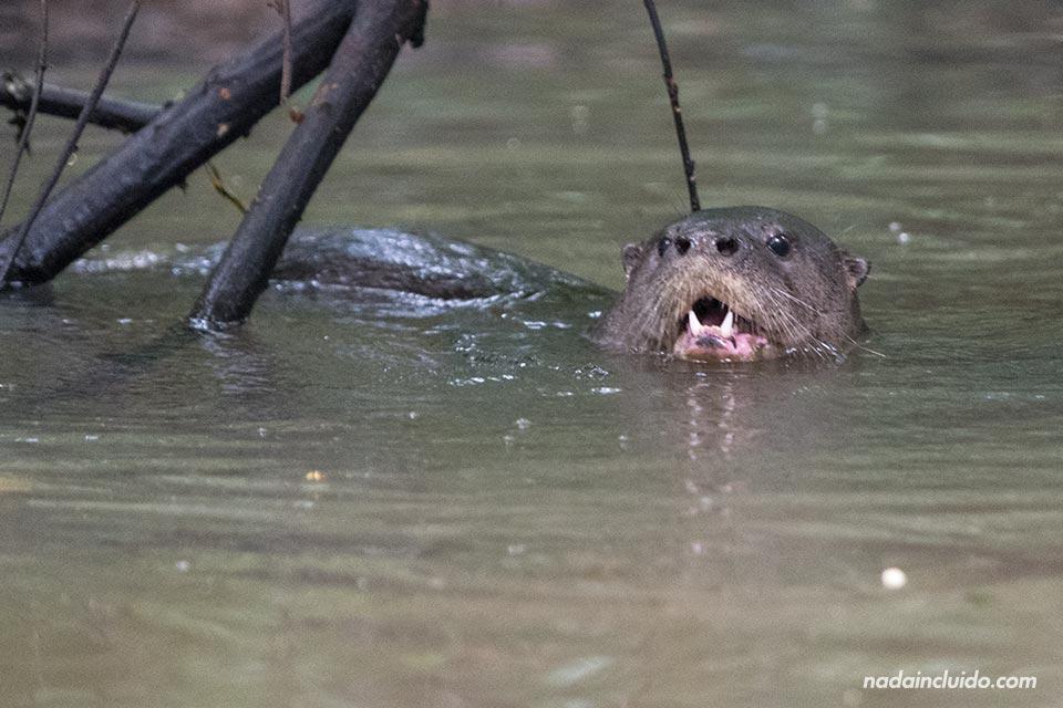 Nutria en los canales del Parque Natural de Tortuguero (Costa Rica)