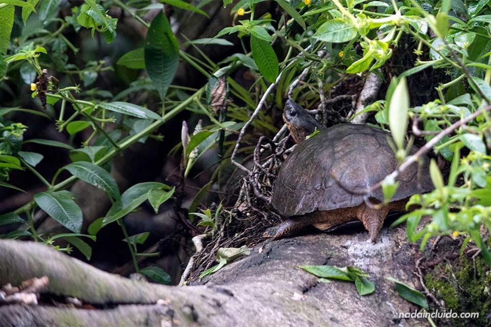 Tortuga en los canales de Tortuguero (Costa Rica)