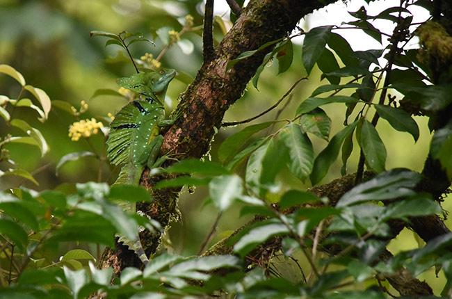 Basilisco oculto entre las hojas del Parque Nacional de Tortuguero (Costa Rica)