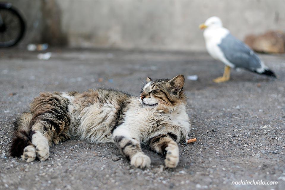 Gato y gaviota en el puerto de Essaouira (Marruecos)