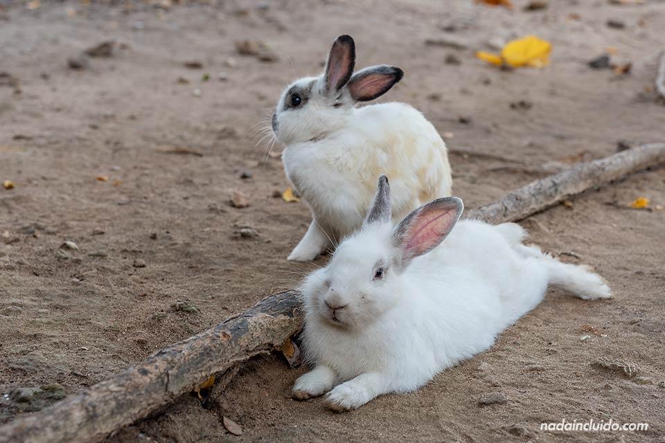 Conejos en la isla de Koh Ta Lu (Tailandia)