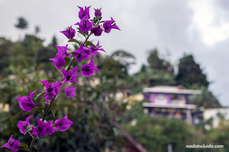 Flor morada en Bajo Boquete (Panamá)