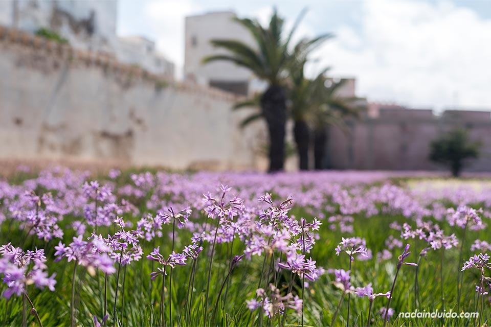 Flores junto a la muralla de Essaouira (Marruecos)