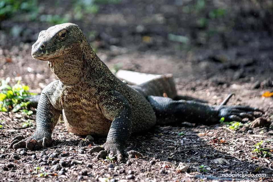 Dragón de Komodo en Loh Buaya, parque nacional de Komodo (Indonesia)