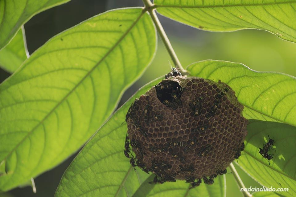 Panal de abejas en el Parque Nacional de Manuel Antonio (Costa Rica)