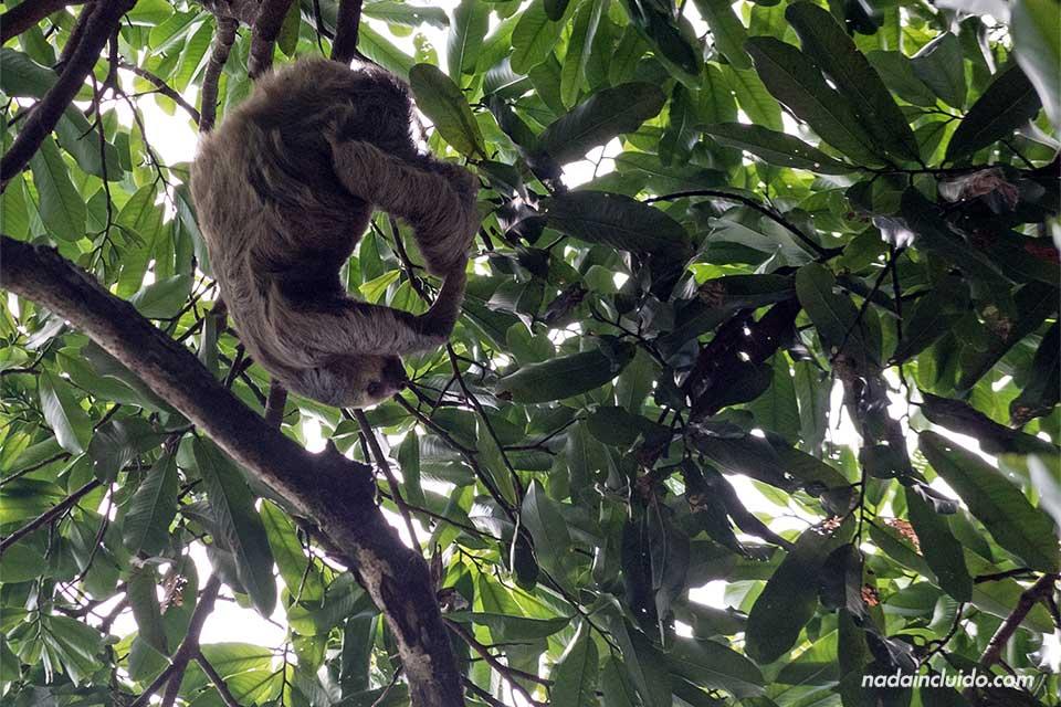 Oso perezoso en el parque nacional de Manuel Antonio (Costa Rica)