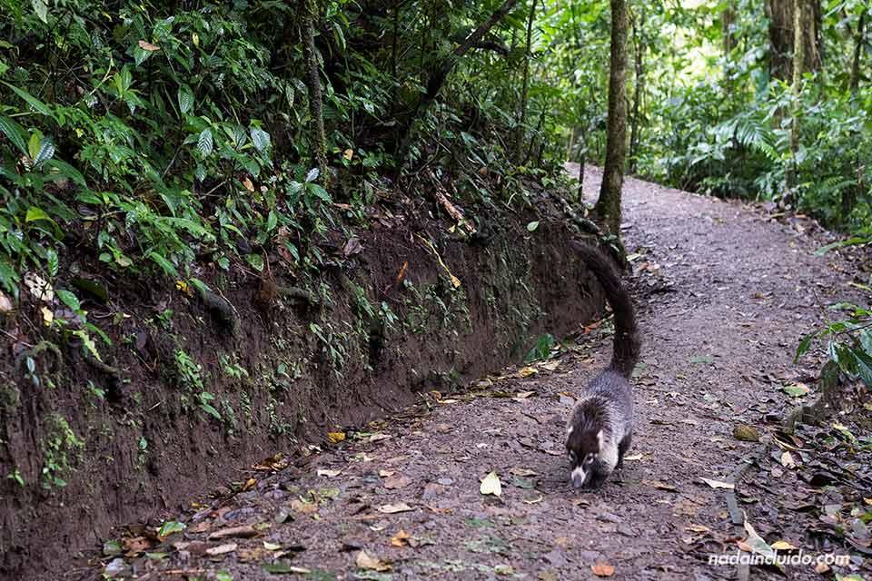 Animal pasea por los senderos del Bosque Nuboso de Monteverde (Costa Rica)